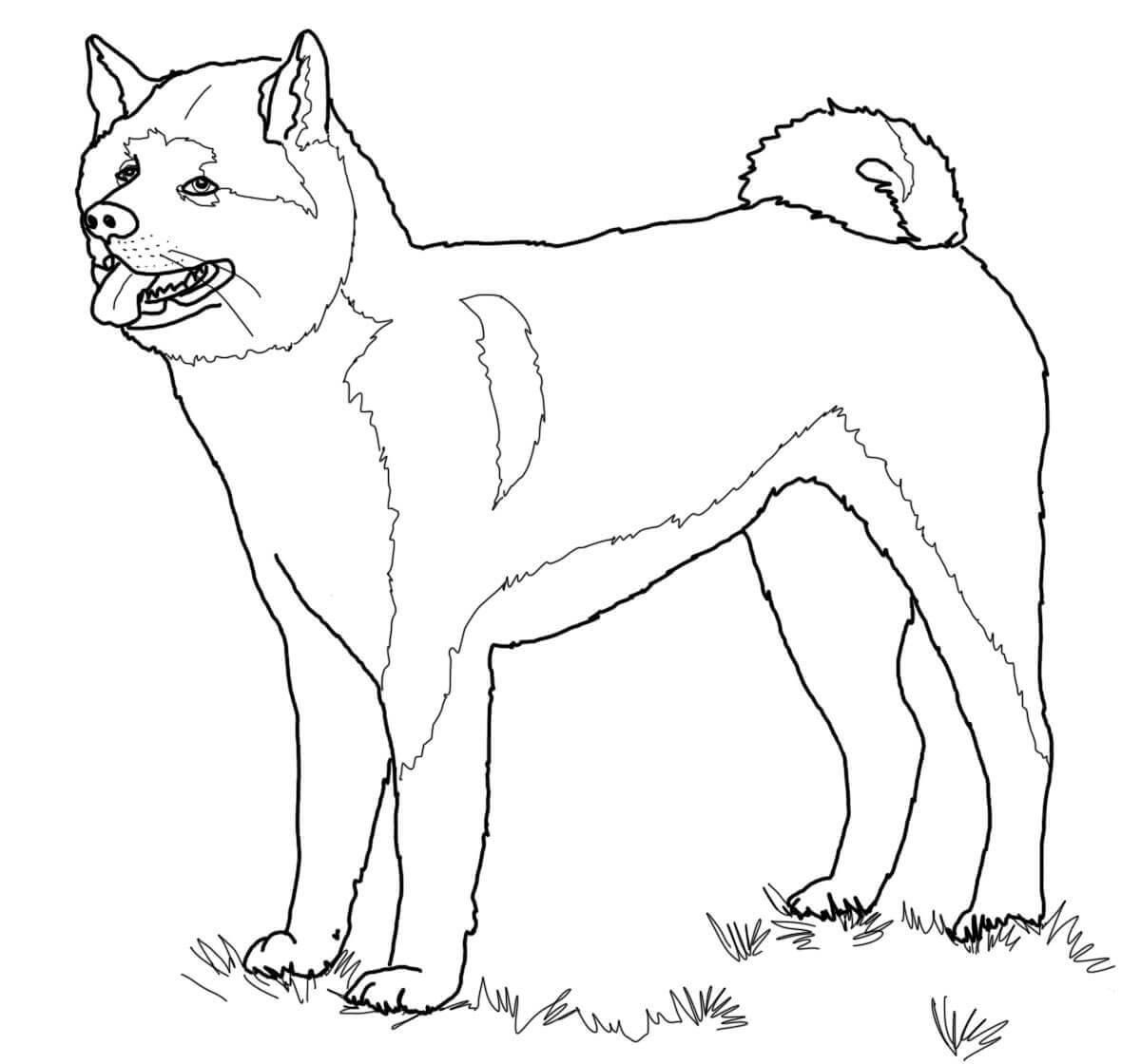 Desenho De Cachorro Akita Inu Para Colorir