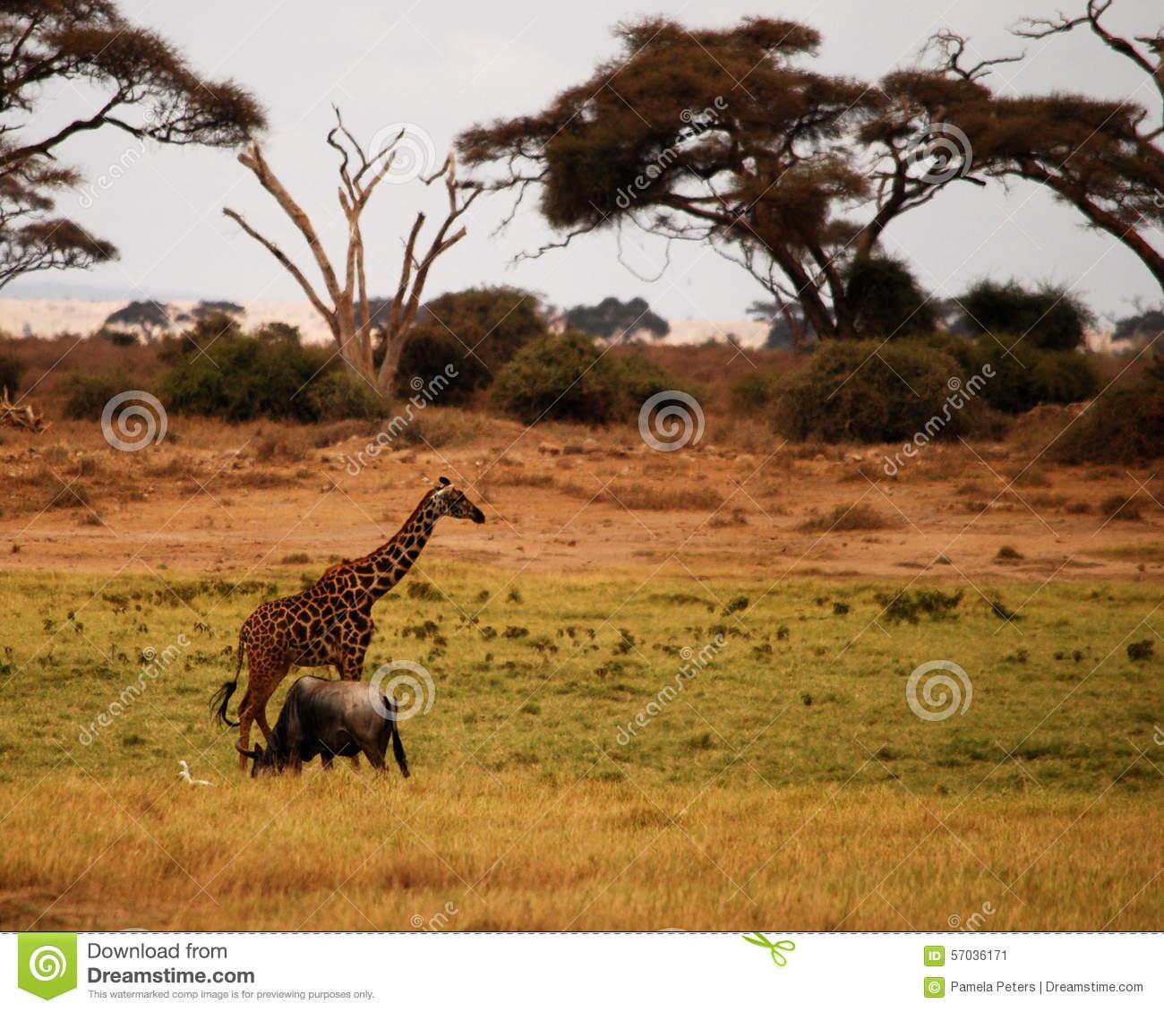Animais Selvagens Africanos Foto De Stock
