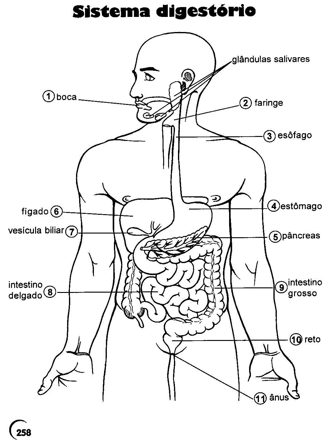 Atividades Corpo Humano 3° 4° 5° 6° Anos ExercÍcios CiÊncias Para