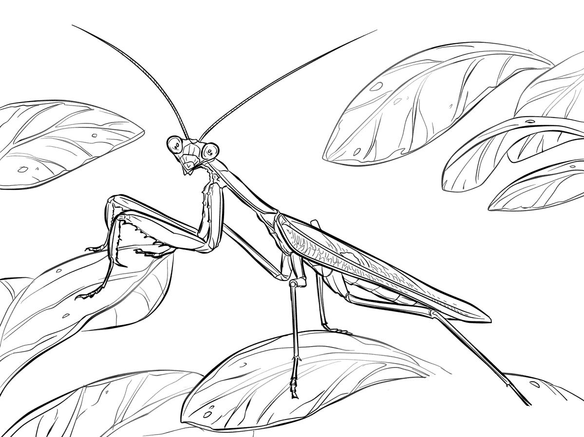 Desenho De Louva