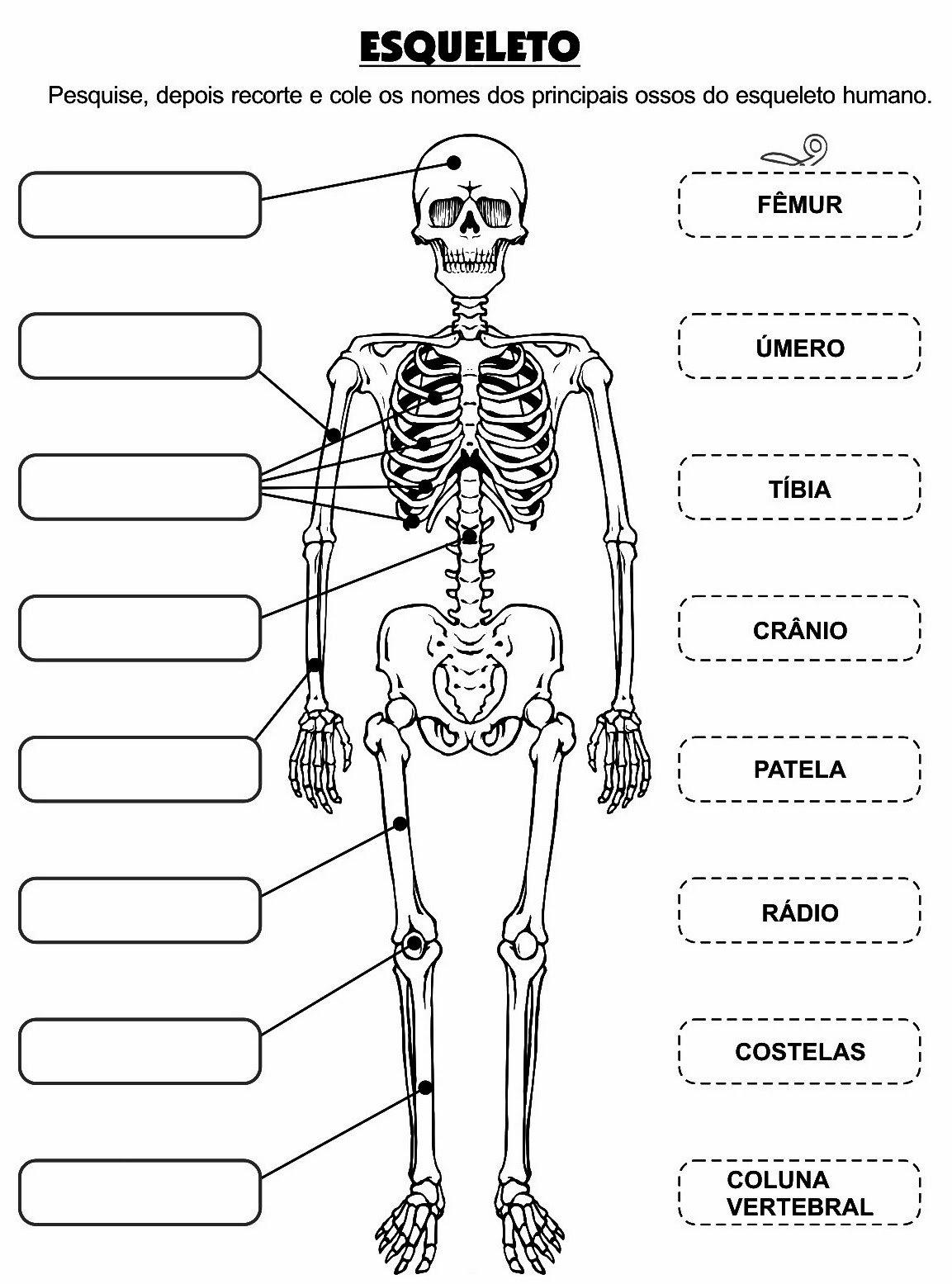 Osteologia  Alguns Ossos Do Corpo Humano Para Colorir E Completar